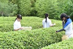 お茶摘み風景